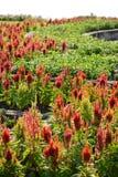 Celosia flower (Celosia argentea) Royalty Free Stock Images