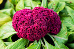 A celosia Flower Stock Photos