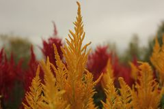 Celosia flower stock images