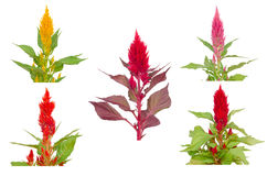 Celosia flower Royalty Free Stock Photo