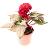 Celosia flower with leaves in pot Stock Images
