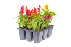 Celosia flower pack. Multi pack of celosia flower isolated on white Stock Photo