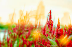 Celosia flower. At sunrise background Royalty Free Stock Photo