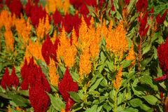 Celosia flowers. In formal garden Stock Images