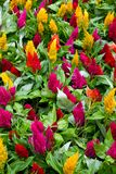 Celosia flowers Royalty Free Stock Image