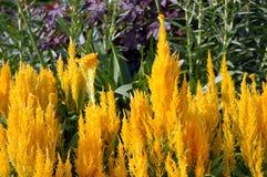 Celosia flowers Stock Photo