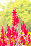 Celosia flowers Stock Photo