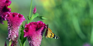 Celosia flowers with butterfly. Stock Photo