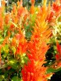 Celosia/Fox апельсина: Красочный цветок Стоковое Изображение RF