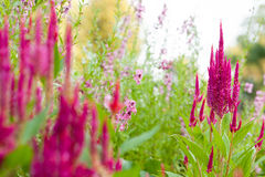 Celosia in the garden Stock Photos