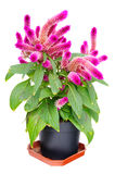 Celosia Isolated on white Stock Images