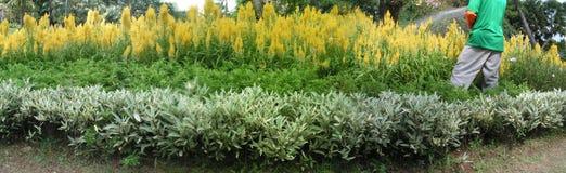 Celosia molhando do jardineiro   imagens de stock royalty free