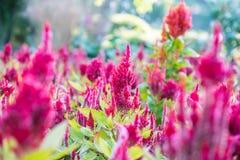Celosia nano, plumosa di Celosia immagine stock libera da diritti