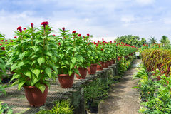 Celosia Nursery Royalty Free Stock Images