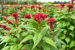 Celosia Nursery Stock Photos