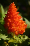 Celosia orange Photo libre de droits