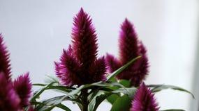 Celosia púrpura Fotos de archivo