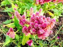 Celosia pink Stock Photography
