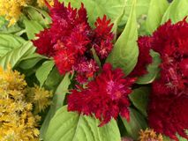 Celosia. Plant in bloom in June. Picture taken in Mississippi royalty free stock photo