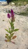 Celosia plant silver from Guadeloupe. In the French West Indies royalty free stock images