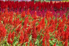 Celosia, Plumed celosia, Wool flower, Red fox Stock Photo
