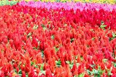 Celosia Plumosa är den härliga blomman för använd bakgrund fotografering för bildbyråer