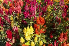 Celosia Plumosa, Celosiaargentea, Celosia, röda blommor - selectio arkivfoto