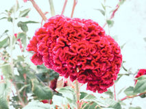 Celosia plumosa. Flower celosia plumosa in park Royalty Free Stock Photo