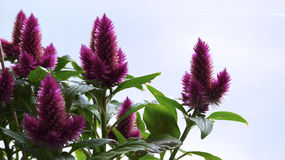 Celosia pourpre Photo stock