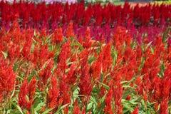 Celosia putsad celosia, ull blommar, den röda räven Arkivfoto