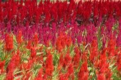 Celosia putsad celosia, ull blommar, den röda räven Royaltyfria Bilder