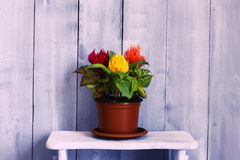 Celosia Stock Images