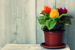 Celosia Royalty Free Stock Photos