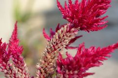CELOSIA's End Royalty Free Stock Photo