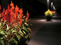 Celosia walkway at night Royalty Free Stock Image