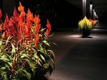 Celosia walkway at night Royalty Free Stock Image