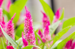 Celosia or Wool flowers or Cockscomb flower Stock Photography