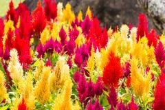 Celosiaargentea eller tuppkam, blandningfärg Arkivbilder