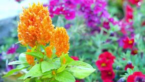Celosiablume, chinesische Wollblume Stockfotos