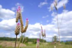 """Celosiacaracas †""""tuppkamblomman i natur mot bakgrund för blå himmel royaltyfria foton"""
