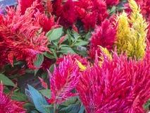 Celosias rojos y amarillos coloridos Imagen de archivo libre de regalías