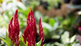Celozja Czerwony Aksamitny kwiat obraz stock
