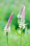 Celozja kwiatu lub grzebionatka kwiatu kwiaty w dekorującym ogródzie Fotografia Stock