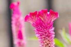 Celozja lub wełna kwitniemy lub grzebionatka kwiat Obrazy Stock