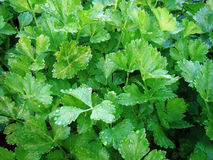 Celry plants(Apium graveolensdulce) Stock Photos