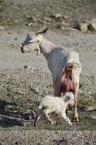 Celtiberian goat kid birth. Just the moment of being born Stock Image