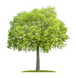 Celtis australis Royalty Free Stock Photo