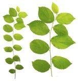 Celtis sinensis Baumzweig lokalisiert auf weißem Hintergrund Lizenzfreie Stockfotos