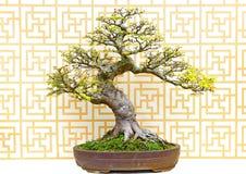 Celtis sinensis bonsai plant. Cascading bonsai plant Celtis sinensis in a stoneware pot on display stock image