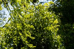 Celtis sinensis Pers. Four arbor trees, up to 30 meters high, are gray and white; the young branchlets are densely yellow brown pubescence in the young, and the Stock Photos